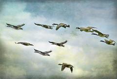 wild-goose-small